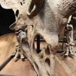 Subastado el esqueleto de un gran triceratops por 6.65 millones de euros