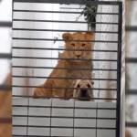 """Vecinos de Atizapán alertan por león y perro en casa sola; """"están acostumbrados a convivir"""", responden dueños"""