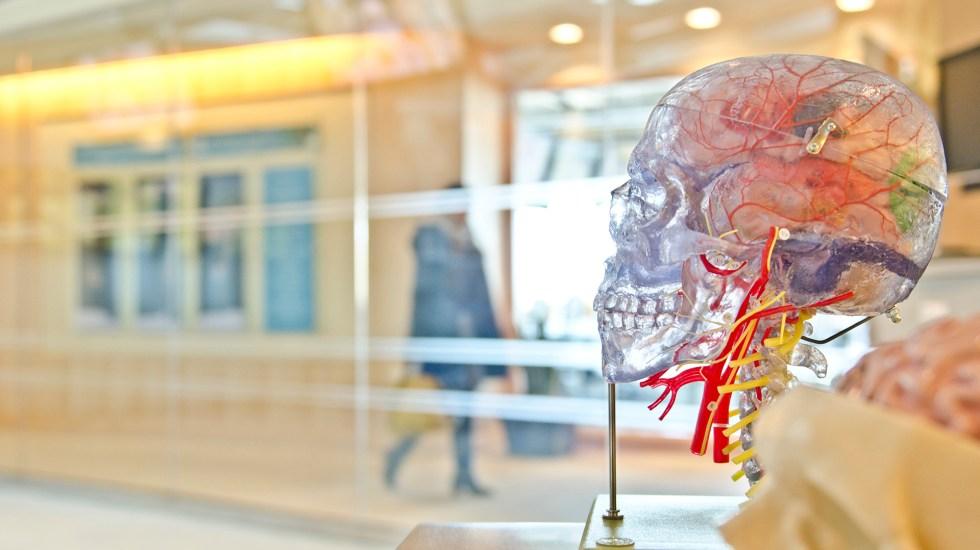 Identifican en sangre señales de advertencia de la demencia - Modelo de cráneo