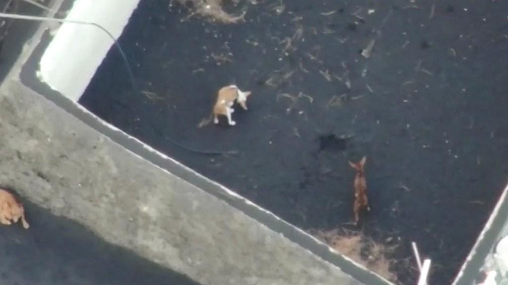 Rescatan a perros sitiados por lava de volcán en isla La Palma - Perros atrapados por la lava en isla La Palma