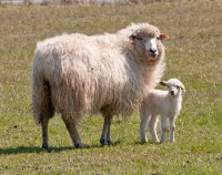 Lopez Lamb Wool and Goat Festival | Lopez Island Kitchen ...