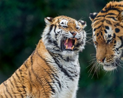Tiger argument de Tambako The Jaguar, en Flickr