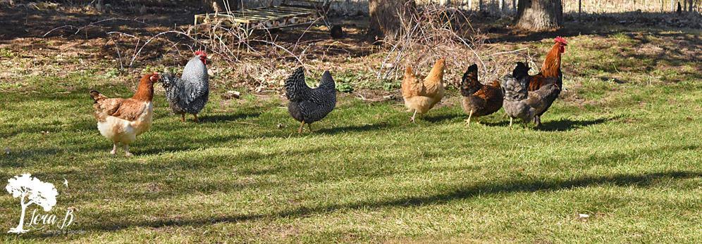 chickens running home