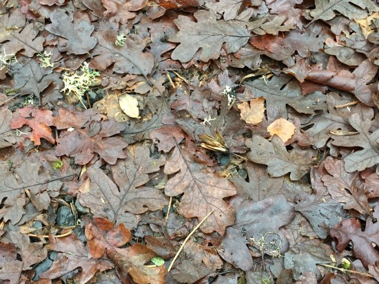oak-leaves
