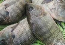 তেলাপিয়া মাছ চাষ