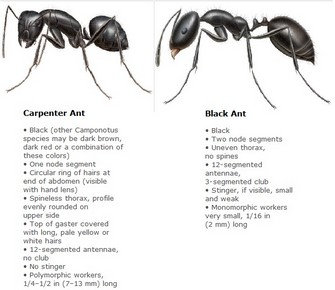 Carpenter Ant vs Black Ant