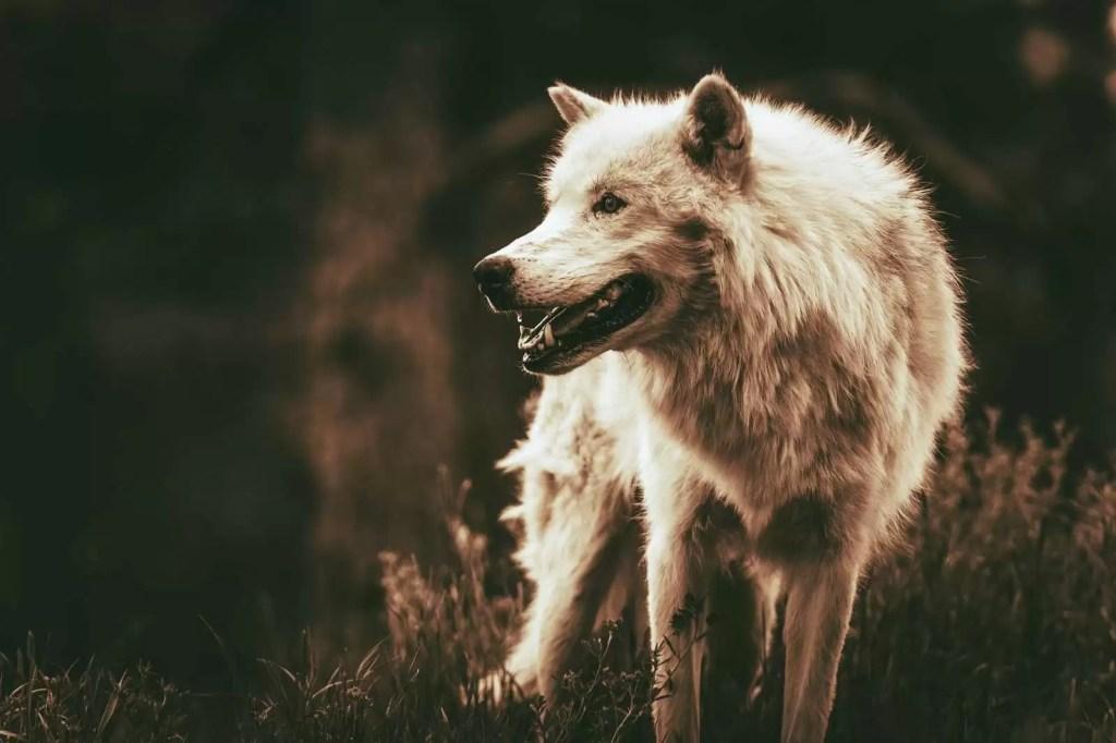 Photo d'un loup blanc, un animal totem adepte de la persévérence.