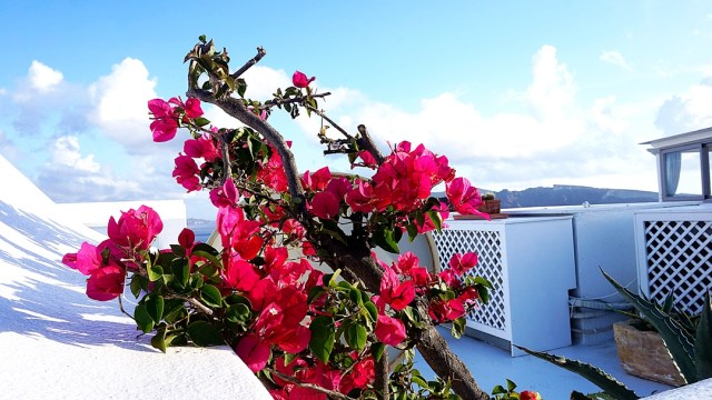 beautiful flowers in Santorini
