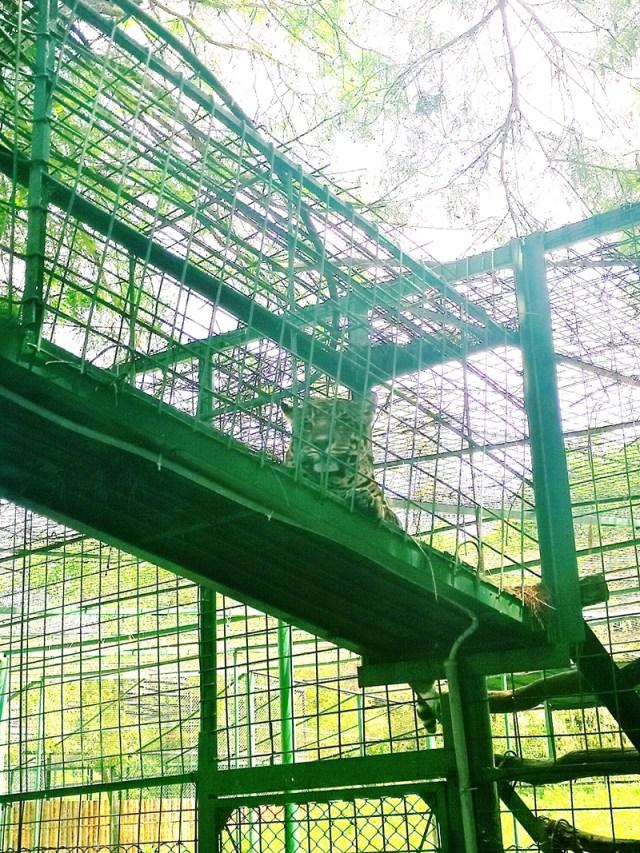 jaguar la gradina zoologica Sibiu