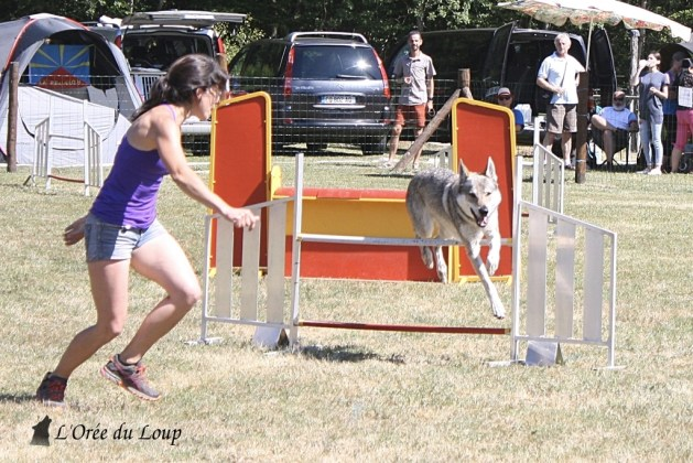 chien-loup-tchecoslovaque-agility