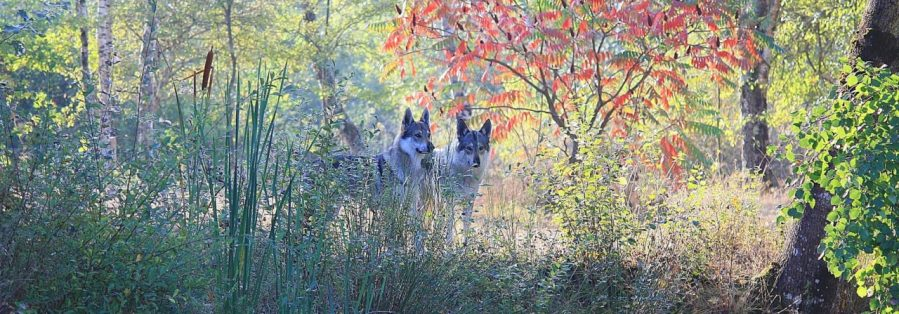 chien-loup-tchecoslovaque-l-oree-du-loup
