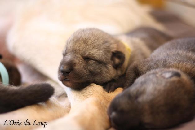 chiot-chien-loup-tchecoslovaque-a-vendre