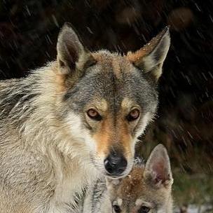 chien-loup tchécoslovaque
