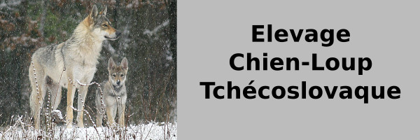 elevage-chien-loup