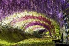 photo of wisteria vine covered arcade, beautiful purple, green and white stripes of leaves and flowers