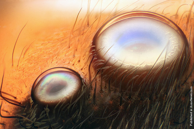 The anterior lateral and median eyes of a jumping spider, observed by Walter Piorkowski of South Beloit, Illinois