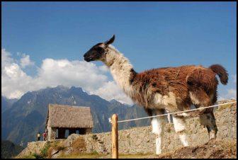 llama posing in front of the caretaker hut
