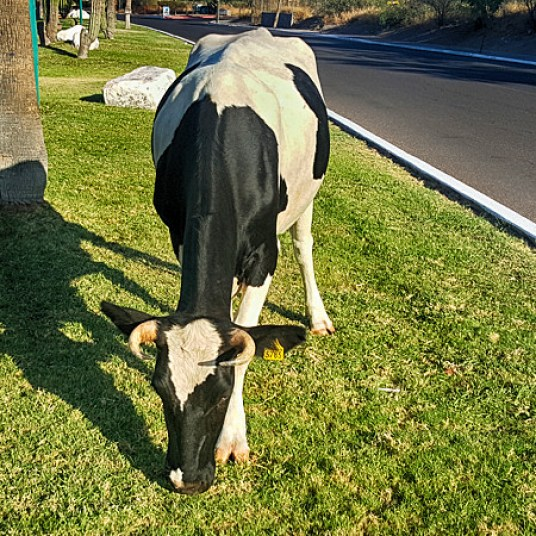 Cows make sure the grass in the medians doesn't need mowing.