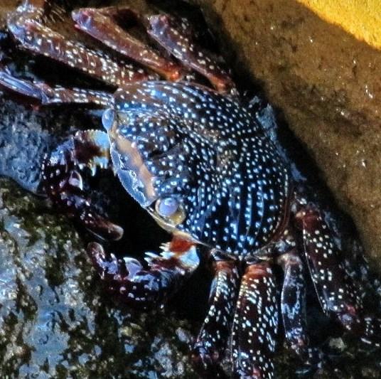 Crab on Loreto rock