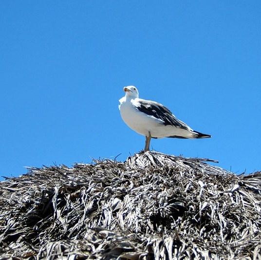 Seagull on a Loreto beach palapa