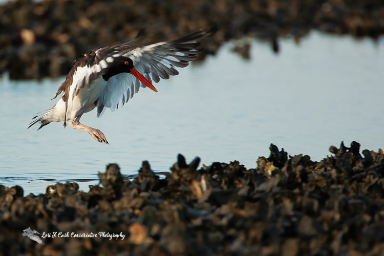 American oystercatcher landing on an oyster bed off the Chincoteague Causeway on the Eastern Shore of Virginia.