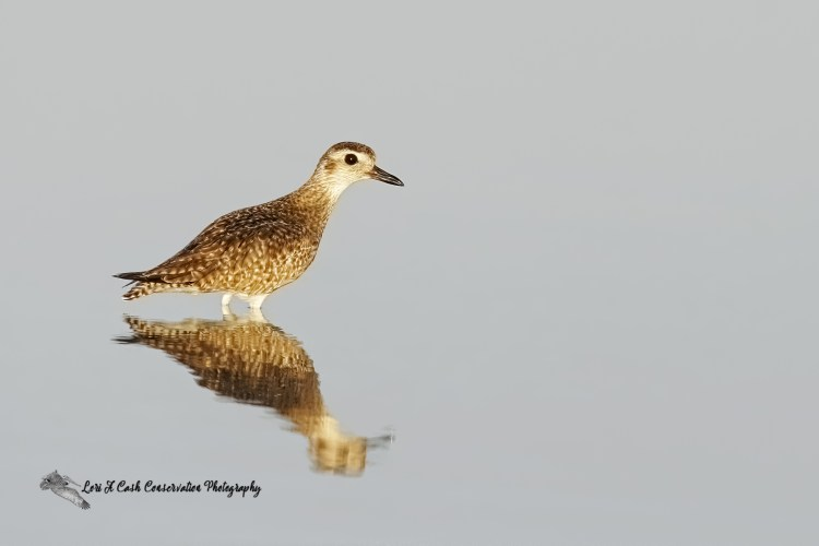 Black-bellied plover in winter plumage standing in the water with reflection t Little Estero Lagoon, Florida.