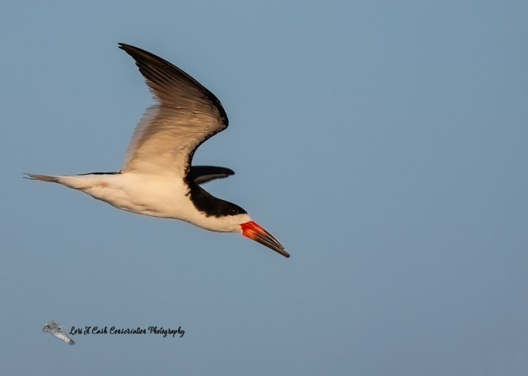 Black skimmer in flight in blue sky over Pea Island National Wildlife Refuge on the Outer Banks of North Carolina.
