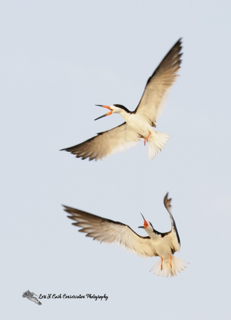 A pair of black skimmers in aerial display as part of mating display over the beach at Pea Island National Wildlife Refuge on the Outer Banks of North Carolina.