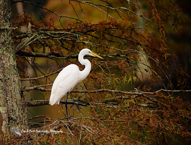 Great egret (Ardea alba) standing in a tree with fall colors of leaves at Stumpy Lake Natural Area in Virginia