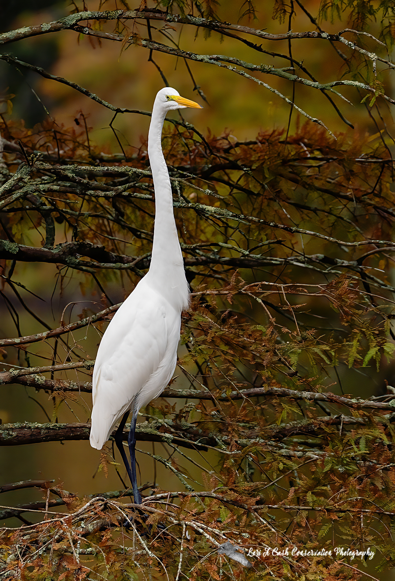 Great white egret standing tall in the trees with fall colors at Stumpy Lake Natural Area in Virginia Beach, Virginia.