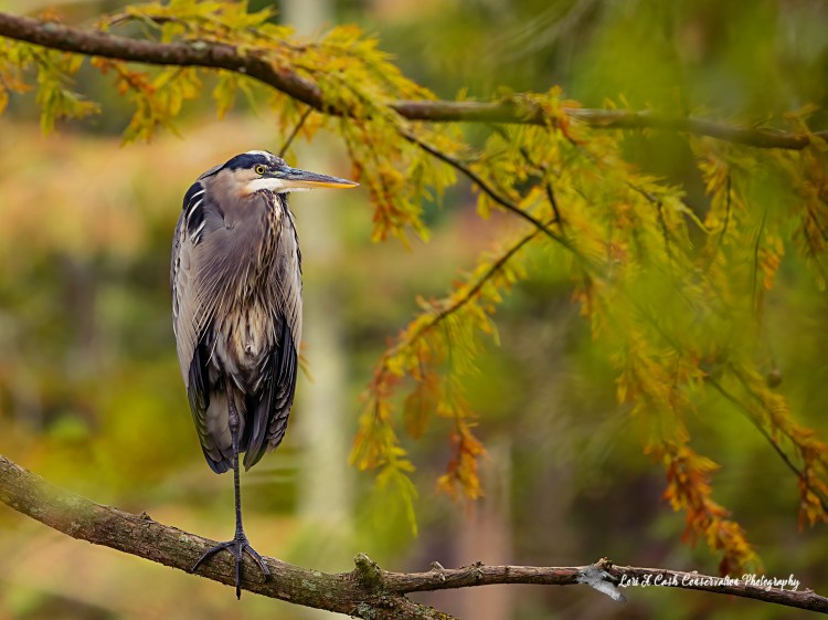 Great blue heron standing tall on a branch in cypress tree looking out over water among the fall colors at Stumpy Lake Natural Area in Virginia Beach, Virginia.