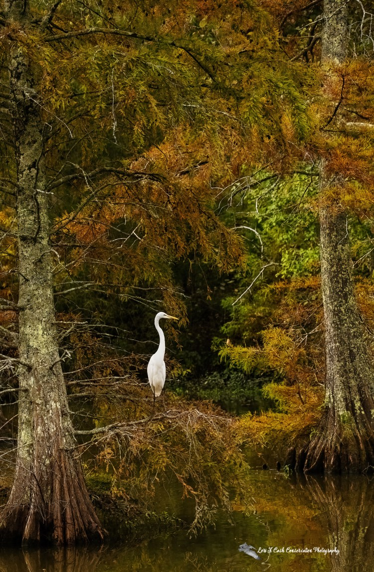 Scenic view of a great egret standing in a tree among the fall colors of the leaves at Stumpy Lake Natural Area in Virginia Beach, Virginia.