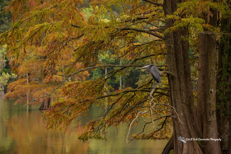 Scenic view of a great blue heron standing in cypress tree surrounded with the colorful fall colors at Stumpy Lake Natural Area in Virginia Beach, Virginia.