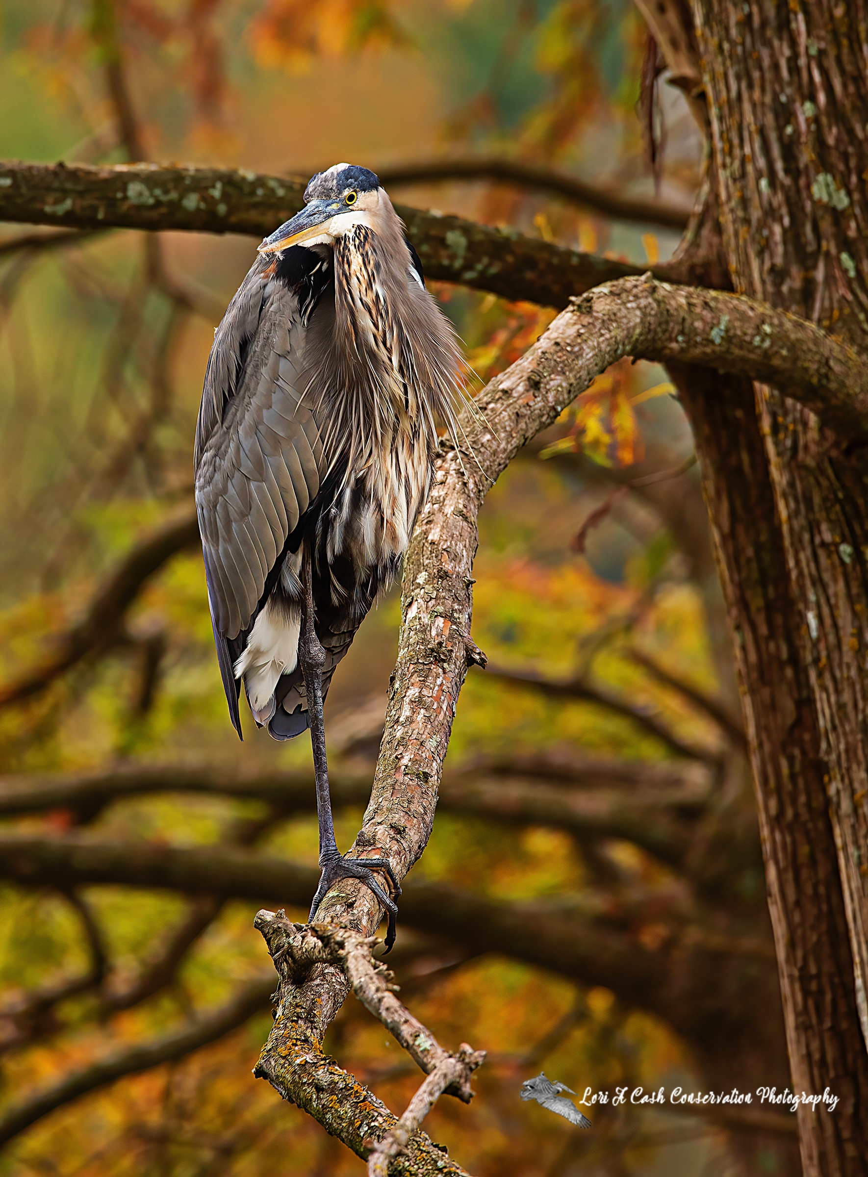 Great blue heron standing in tree looking back over shoulder among the fall colors at Stumpy Lake Natural Area in Virginia Beach, Virginia.