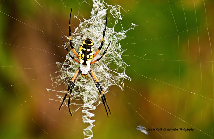 Black and yellow garden spider (Argiope aurantia) on web at Stumpy Lake Natural Area in Virginia Beach, Virginia.