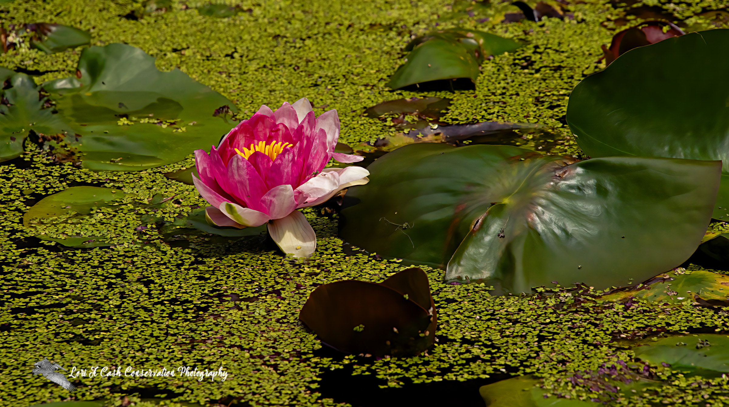 Single pink waterlily in bloom in a waterlily garden at the Norfolk Botanical Garden in Norfolk, Virginia.