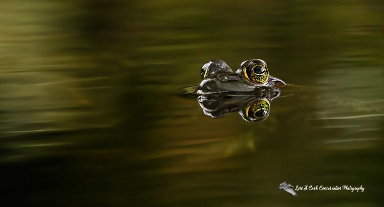 American bullfrog swimming in the dark water of the pond at Norfolk Botanical Garden in Norfolk, Virginia.