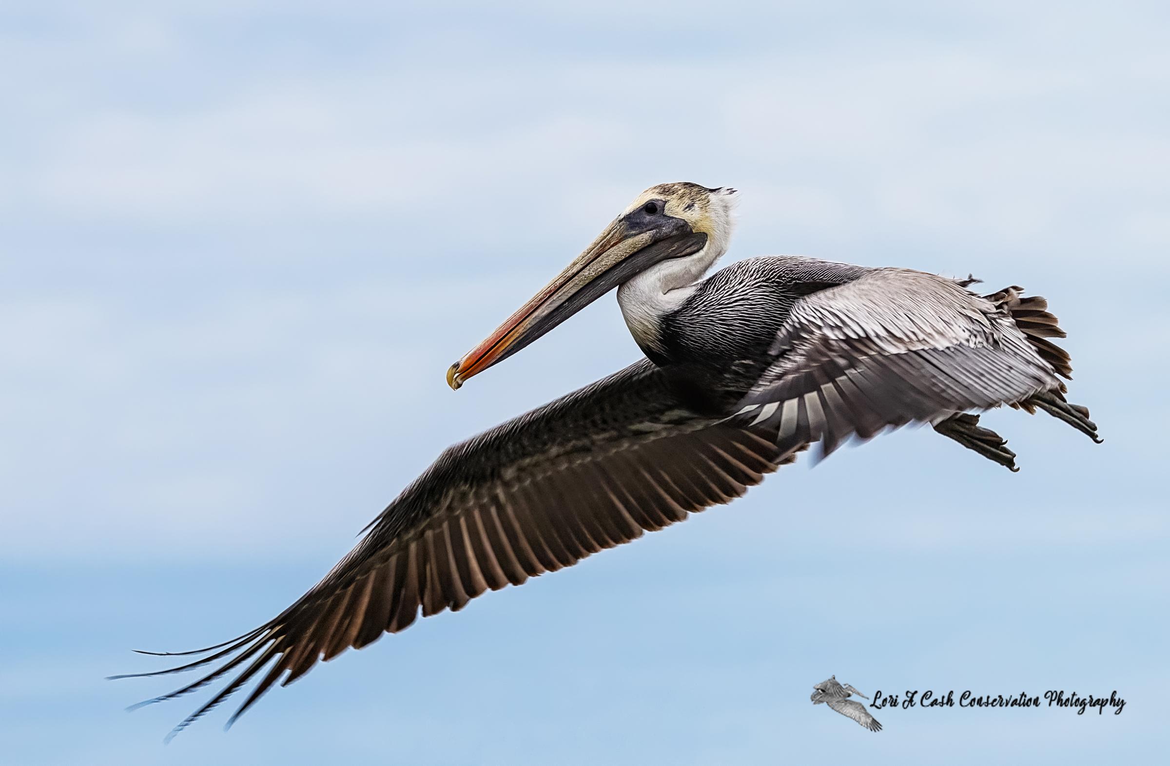Brown pelican flying and soaring in the blue skies above the pilings in Mill Creek at Phoebus Waterfront Park in Hampton, Virginia.