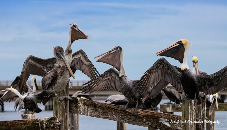 Brown pelicans gathering on the pilings for roosting in Mill Creek at the Phoebus Waterfront Park in Hampton, Virginia.