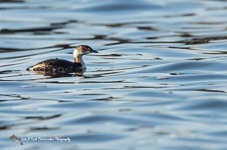 Horned grebe in winter plumage swimming in the water along the beach area at Fort Monroe National Monument in Hampton, Virginia.