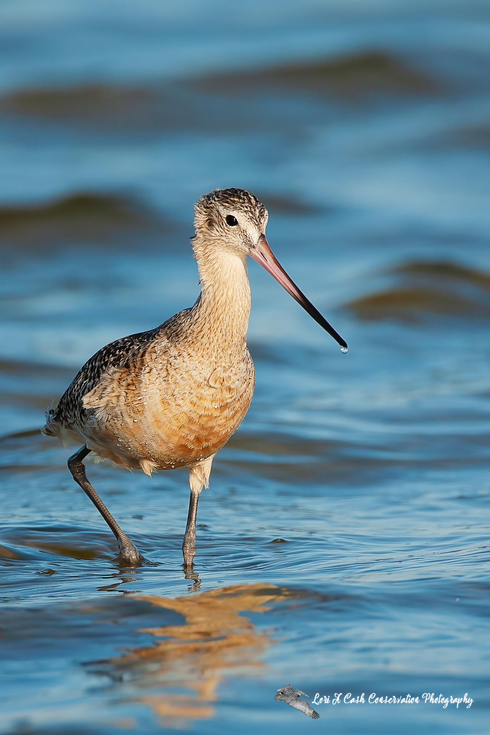 Marbled godwit walking in the water at Pea Island National Wildlife Refuge on the Outer Banks of North Carolina.