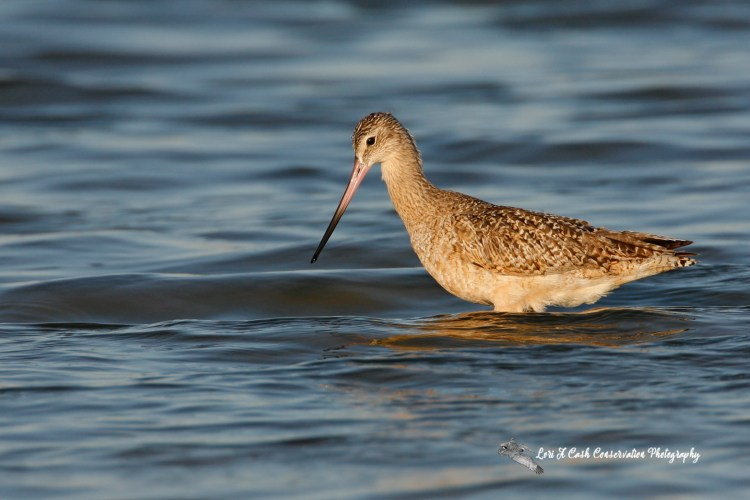 Marbled godwit pausing while searching for food in the water at Pea Island National Wildlife Refuge on the Outer Banks of North Carolina.
