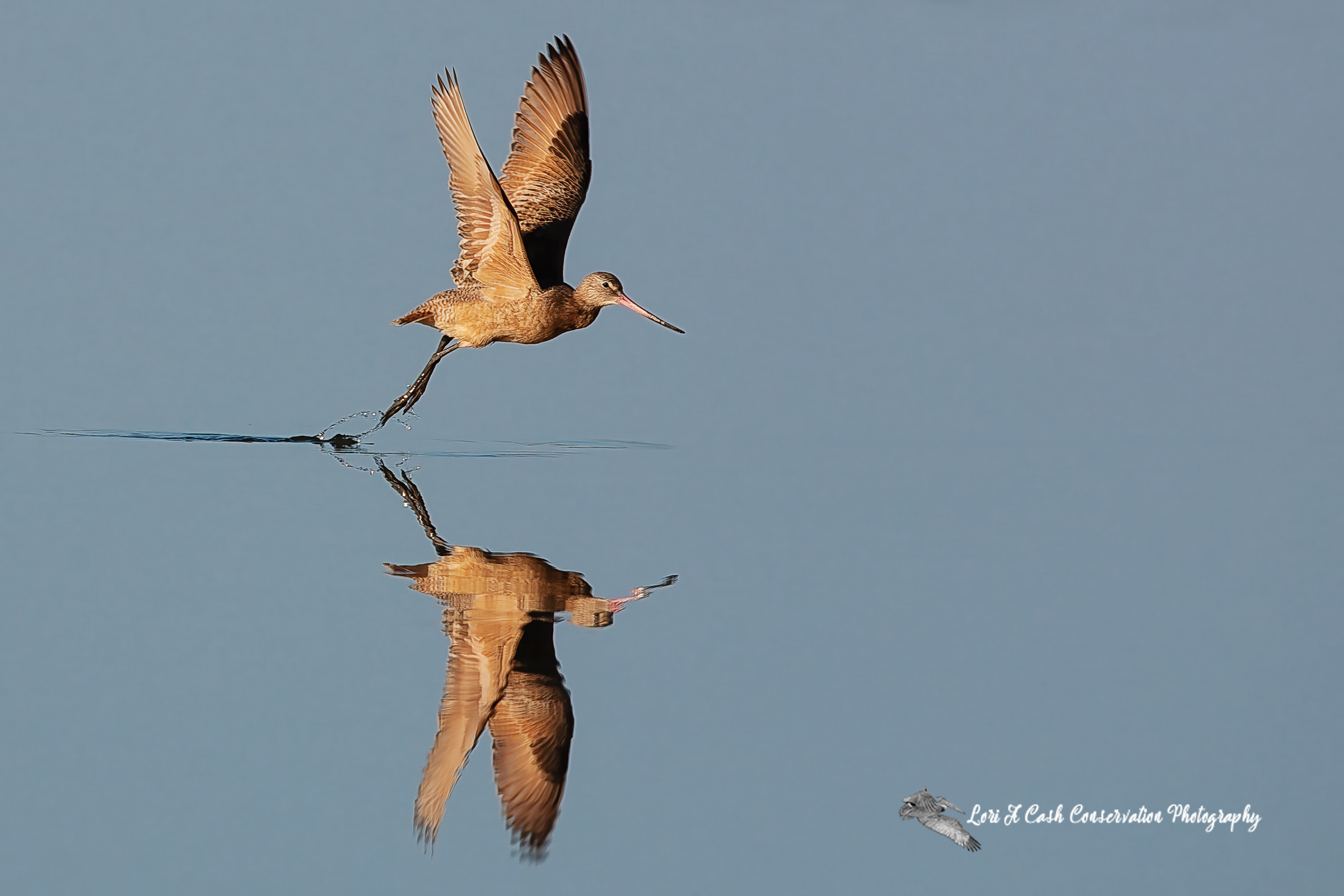 Marbled godwit in flight with reflection in water as it flies over the water at Pea Island National Wildlife Refuge on the Outer Banks of North Carolina.
