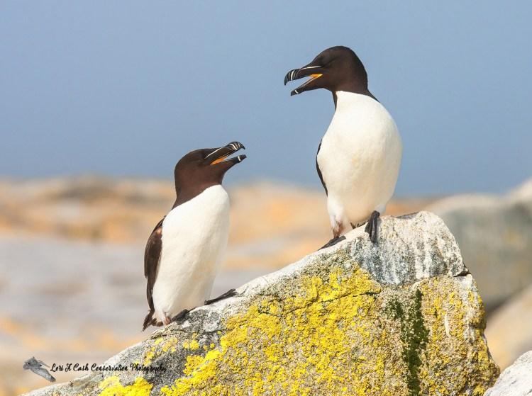 Pair of razorbills sitting on edge of rocks in courtship behavior at Machias Seal Island in Maine.