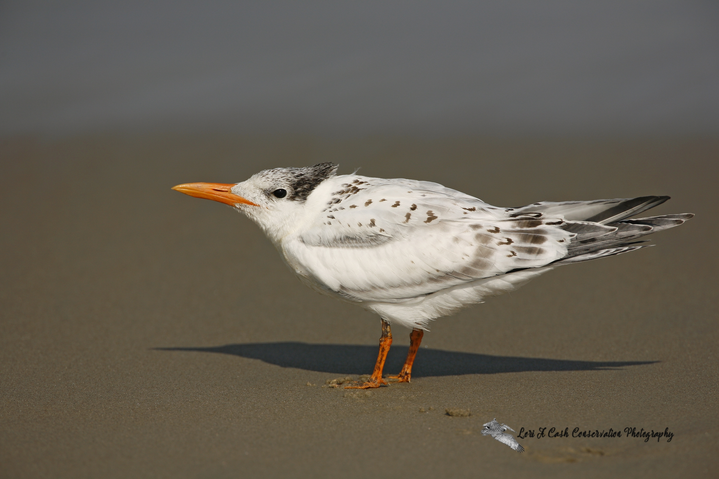 Royal tern immature standing on the beach near the surf at Carova on the Outer Banks of North Carolina.