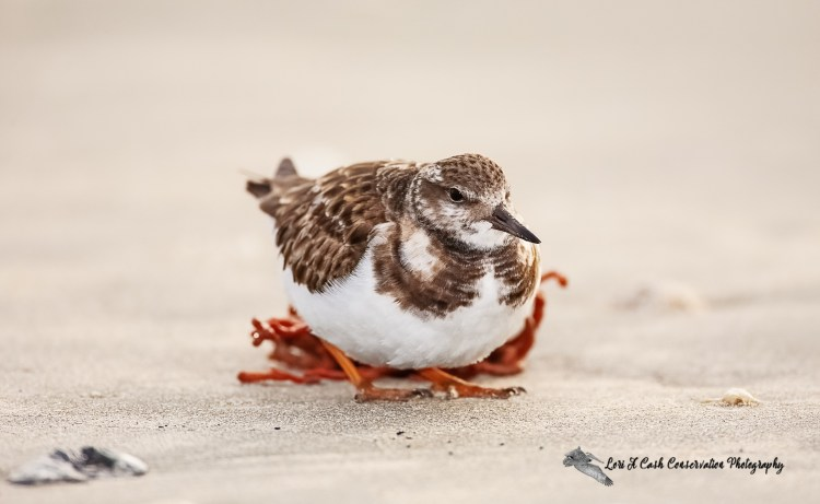 Ruddy turnstone in winter plumage on the beach at Huntington Beach State Park in South Carolina.