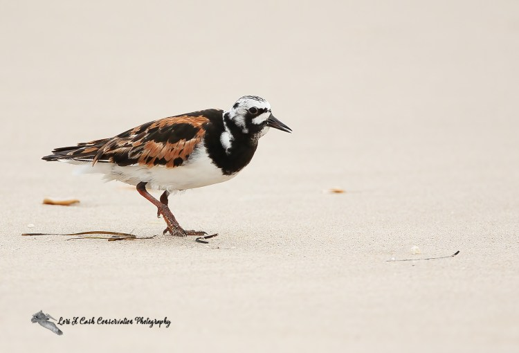 Ruddy turnstone (Arenaria interpres) in breeding plumage on the beach at Pea Island National Wildlife Refuge on the Outer Banks of North Carolina.