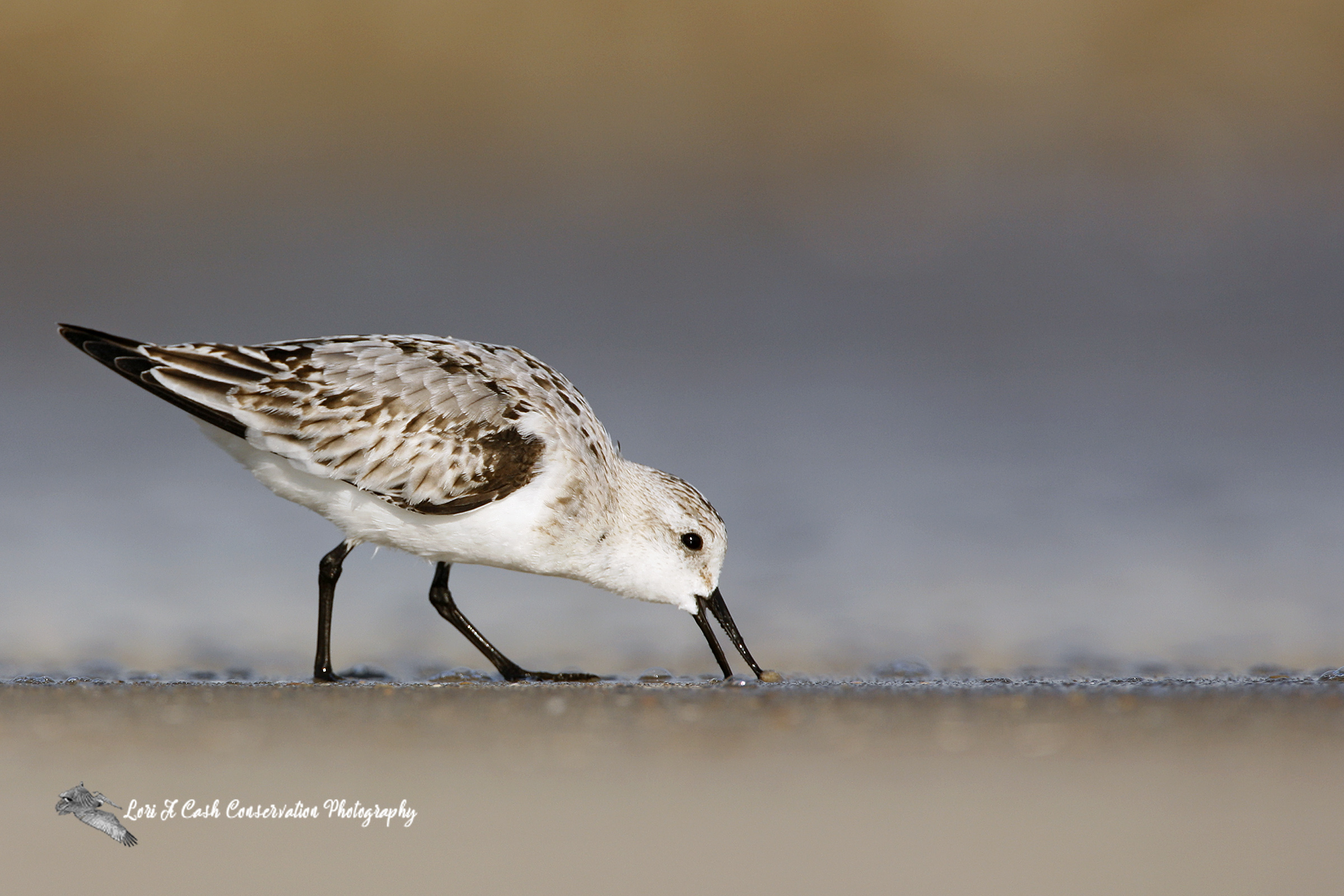 Sanderling searching for food on the beach at Pea Island National Wildlife Refuge on the Outer Banks of North Carolina.