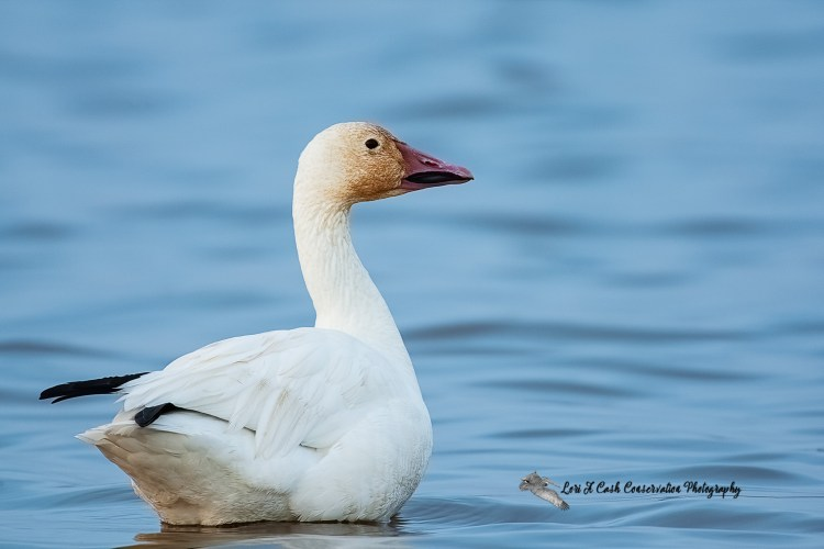 Snow goose sitting in the blue water at Pea Island National Wildlife Refuge on the Outer Banks of North Carolina.