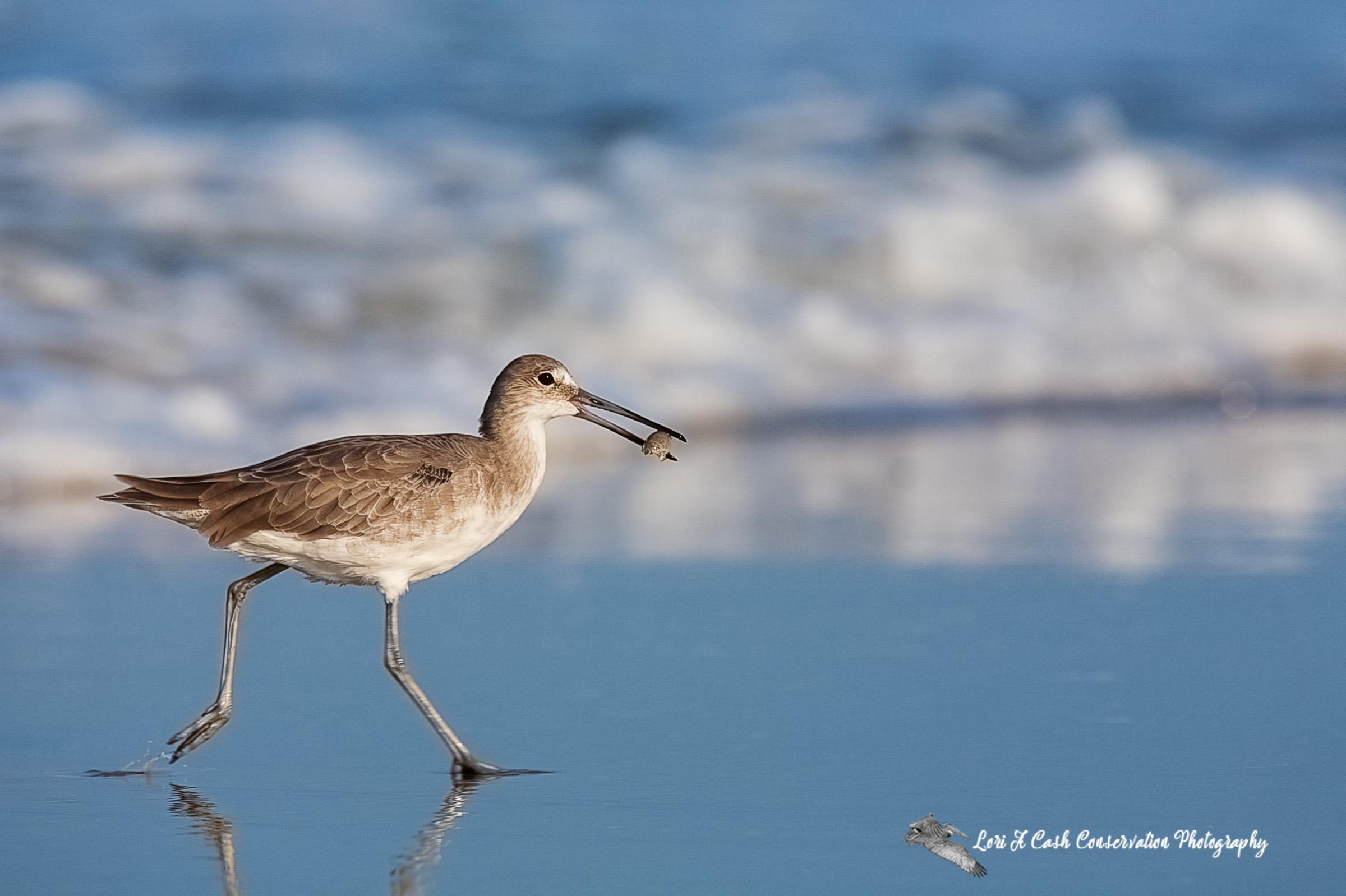 Willet walking with a mole crab on the beach in Nags Head on the Outer Banks of North Carolina.